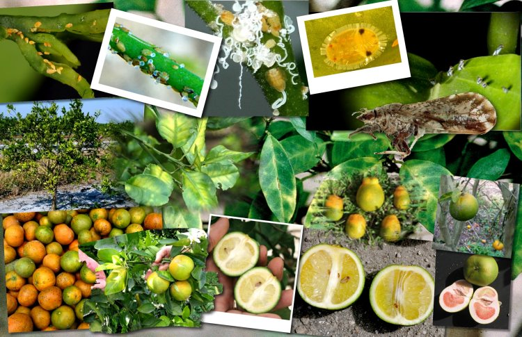 Follow the devastating trail of citrus greening.