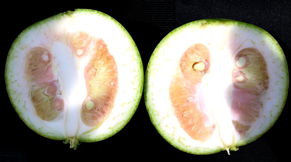 Example of Citrus Greening Fruit Deformity
