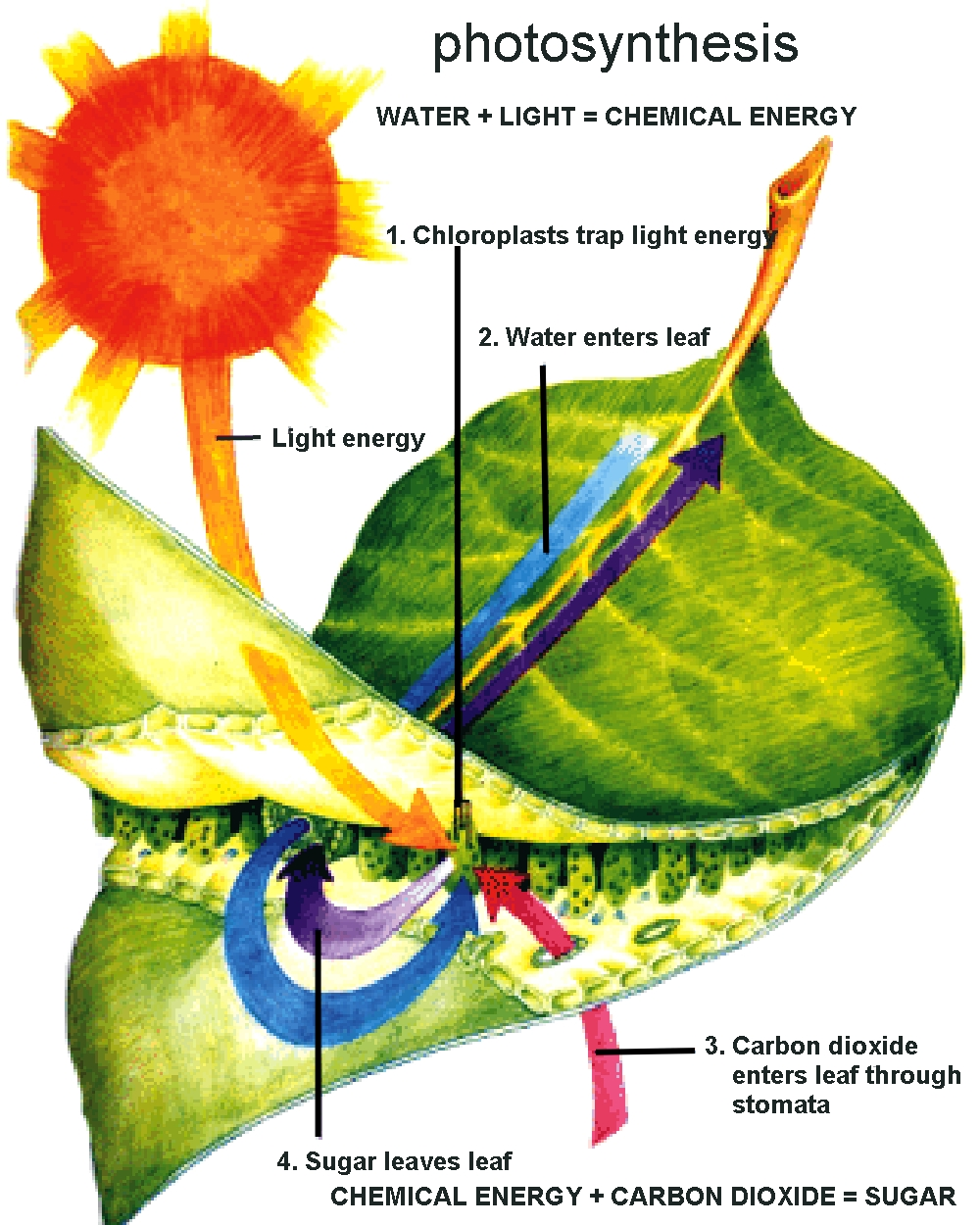 photosynthesis diagram of a plant why it works -- why plants are
